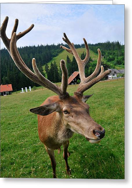 Deer Cervidae With Impressive Antlers Greeting Card