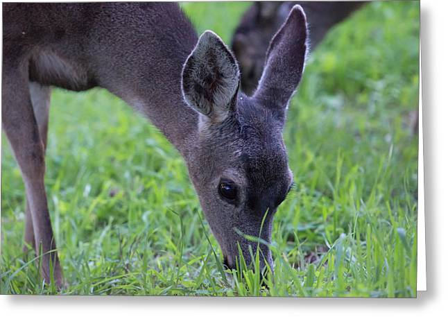 Deer Grazing In Grass On Monterey Greeting Card by Sheila Haddad