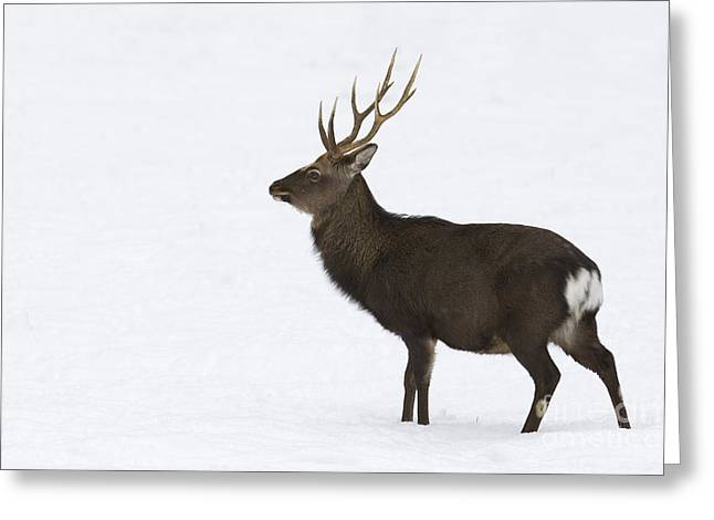 Deer In Snow Greeting Card by Maurizio Bacciarini