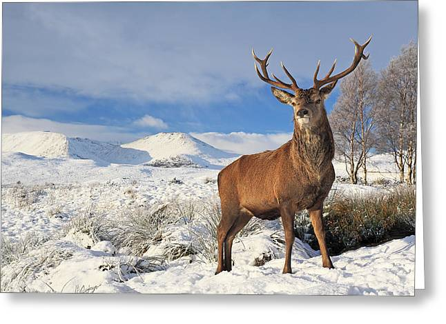 Deer In The Snow Greeting Card by Grant Glendinning