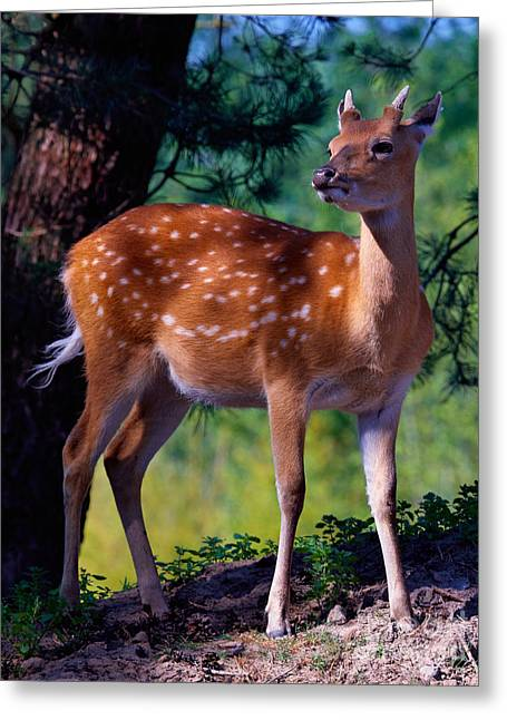 Deer In The Woods Greeting Card