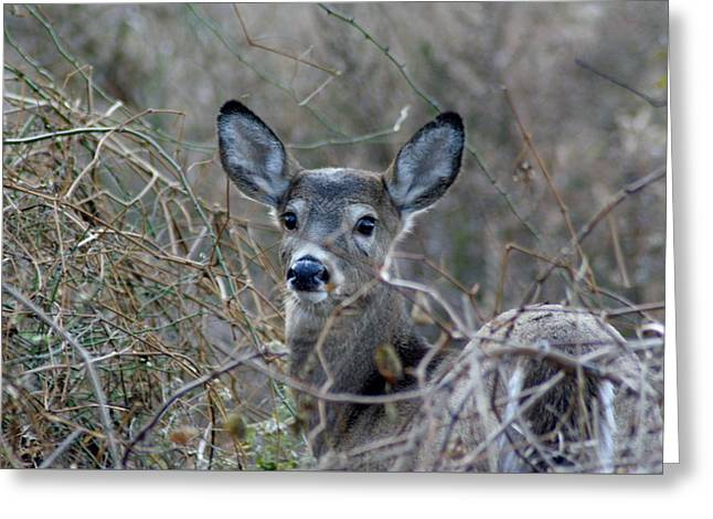 Greeting Card featuring the photograph Deer by Karen Silvestri