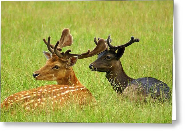 Deer Lying In A Field Greeting Card by DerekTXFactor Creative