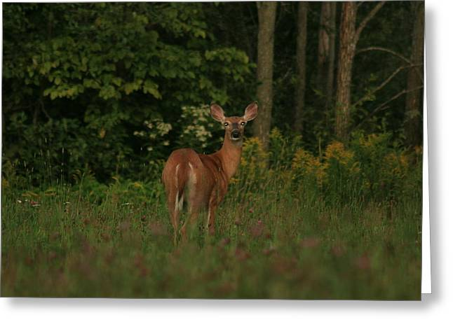 Greeting Card featuring the photograph Deer Muskoka by Paula Brown