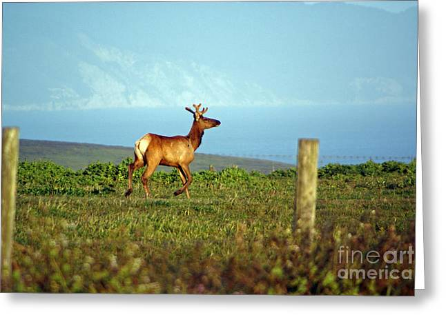 Deer On The Rune Greeting Card
