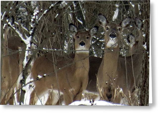 Deer Posing For Picture Greeting Card
