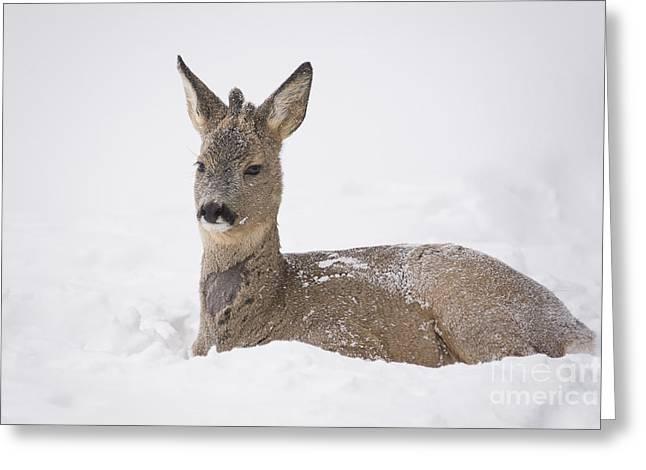Deer Resting In Snow Greeting Card