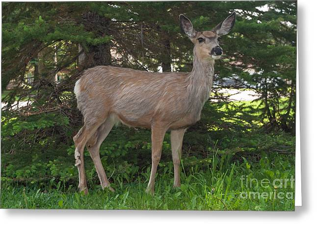 Deer Tourist... Greeting Card