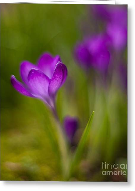 Delicate Crocus Light Greeting Card