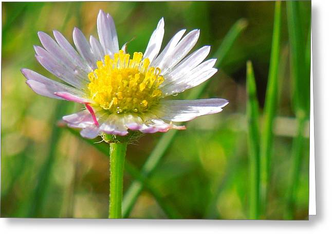 Delicate Daisy In The Wild Greeting Card