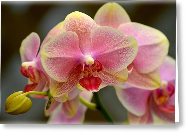 Greeting Card featuring the photograph Delicate Orchids by Amanda Vouglas