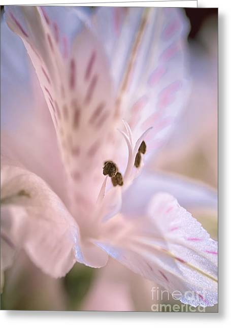 Delicate Peruvian Lily Greeting Card
