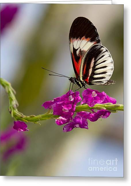 delicate Piano Key Butterfly Greeting Card by Sabrina L Ryan