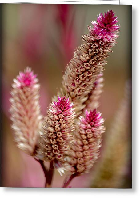 Greeting Card featuring the photograph Delicate Pink by Amanda Vouglas