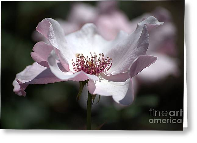 Delicate Pink Greeting Card by Sharon Elliott