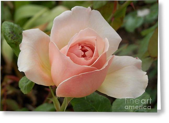Delicately Pink Greeting Card by Margaret McDermott