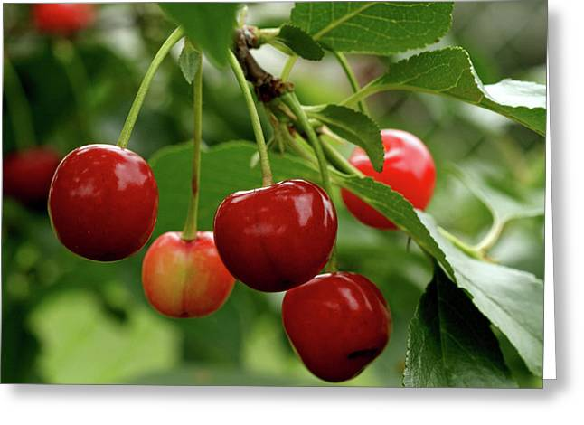 Delicious Cherries Greeting Card by Sandy Keeton