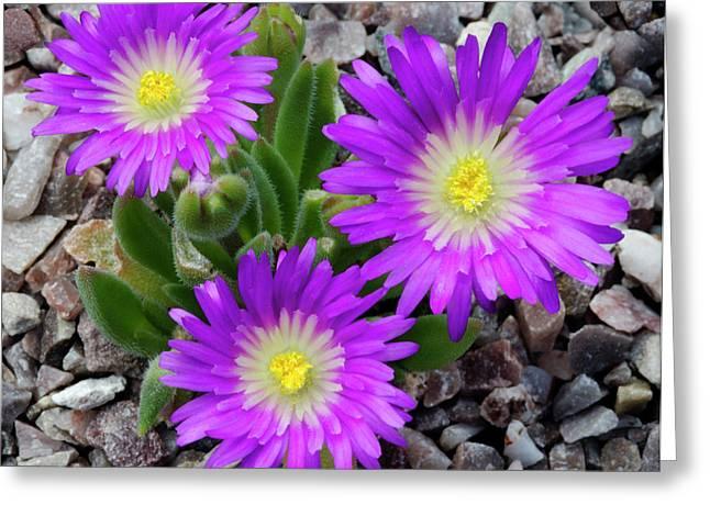 Delosperma Ashtonii Flowers Greeting Card by Nigel Downer