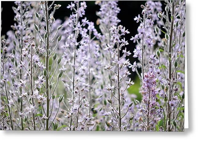 Delphinium Requienii Flowers Greeting Card