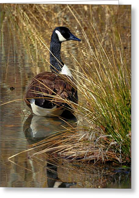 Demure Canada Goose - 2009c5818e Greeting Card by Paul Lyndon Phillips