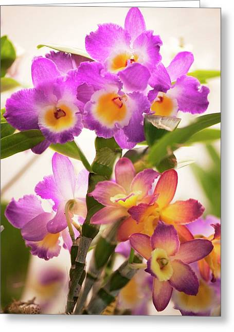 Dendrobium Nobile Orchid Greeting Card by Maria Mosolova