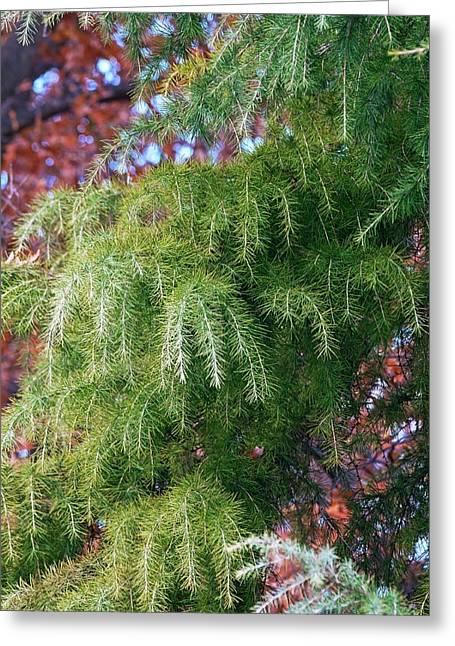 Deodar Cedar (cedrus Deodara) Greeting Card by Dr. Nick Kurzenko