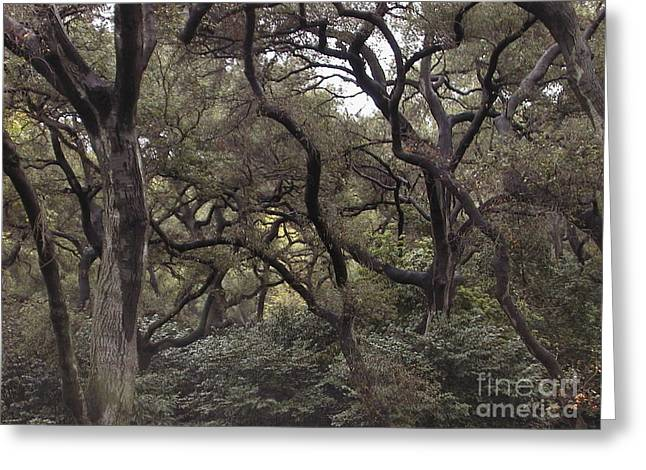Descanso Oaks 3 Greeting Card