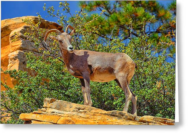 Desert Bighorn Sheep Greeting Card by Greg Norrell