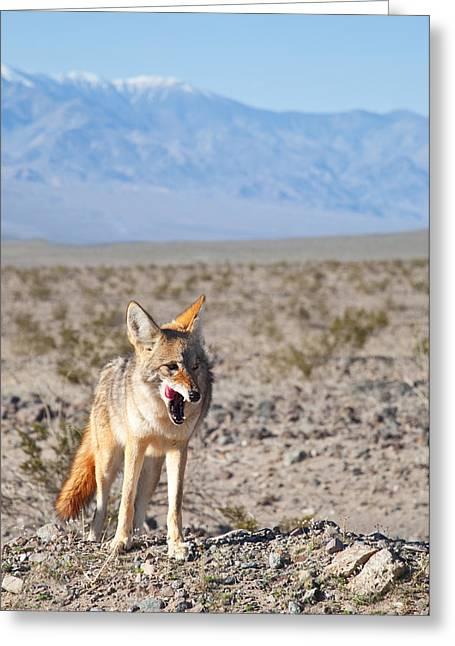 Desert Coyote Greeting Card