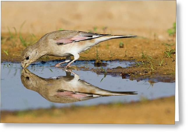 Desert Finch (carduelis Obsoleta) Greeting Card by Photostock-israel