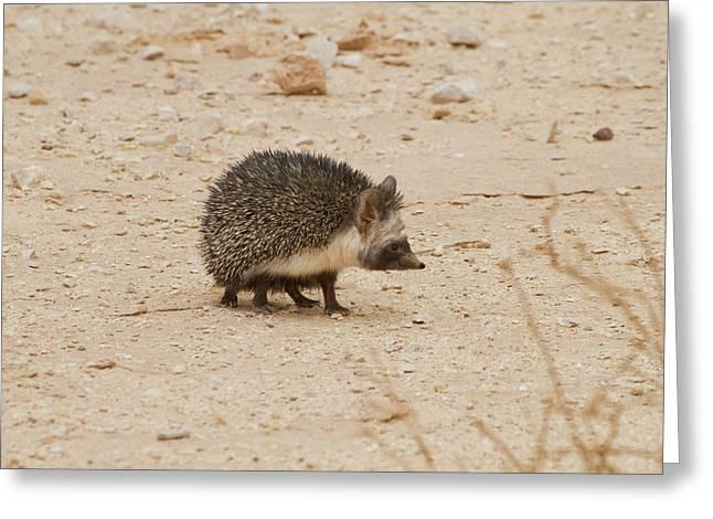 Desert Hedgehog (paraechinus Aethiopicus) Greeting Card