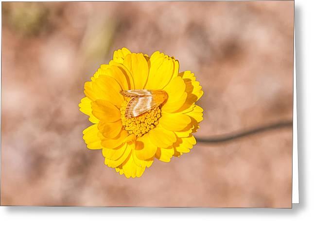 Desert-marigold Moth Greeting Card