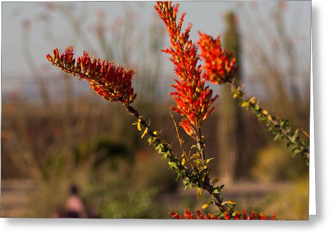 Desert Ocotillo Greeting Card by Dick Botkin