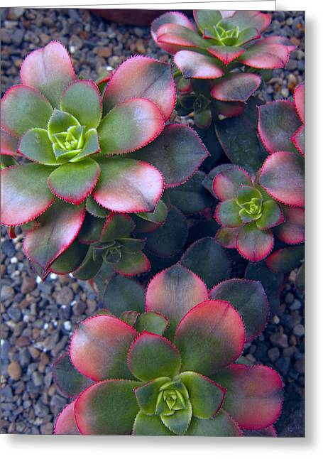 Desert Succulents Greeting Card by Daniel Hagerman