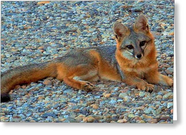 Desert White Foot Fox Greeting Card by Wendy Clem