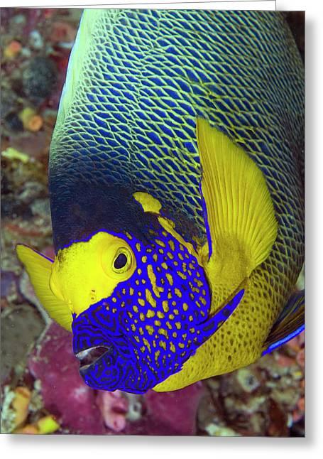 Detail Of Head Of Angelfish, Raja Ampat Greeting Card by Jaynes Gallery
