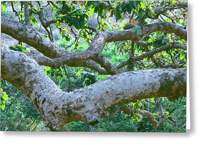 Detail Of Sycamore Tree In A Forest Greeting Card