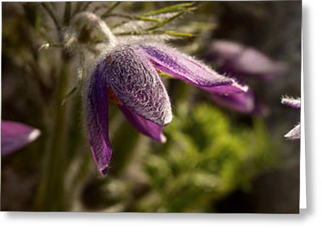 Details Of Purple Furry Flowers Greeting Card by Panoramic Images