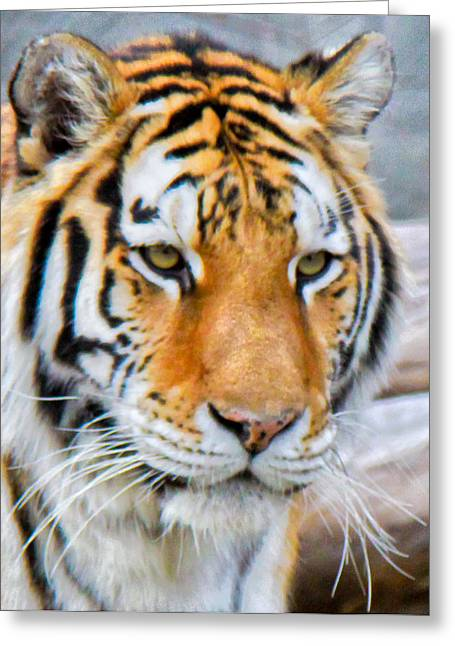 Detroit Tiger Greeting Card by Michael Petrick