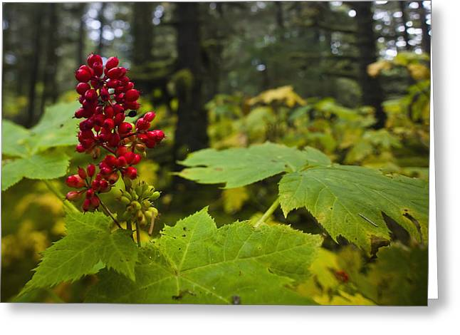 Devils Club Growing Under The Canopy Of Greeting Card by Kevin Smith
