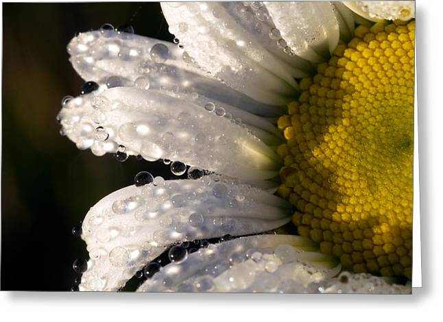 Dew Cover Daisy IIi Greeting Card by Amanda Kiplinger