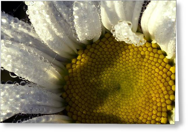 Dew Covered Daisy Greeting Card by Amanda Kiplinger