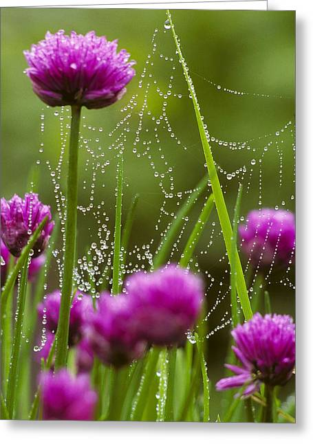 Dew Covered Spider Web On Chive Flowers Greeting Card by Marion Owen