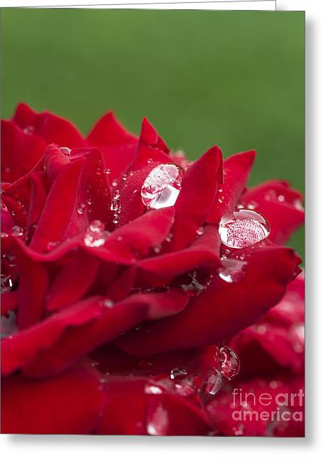 Dew Drops And Red Rose Greeting Card by Vishwanath Bhat
