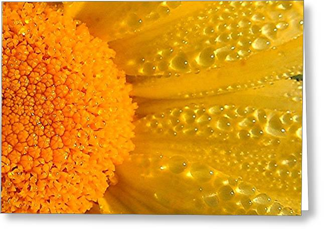 Greeting Card featuring the photograph Dew Drops On Daisy by Terri Gostola