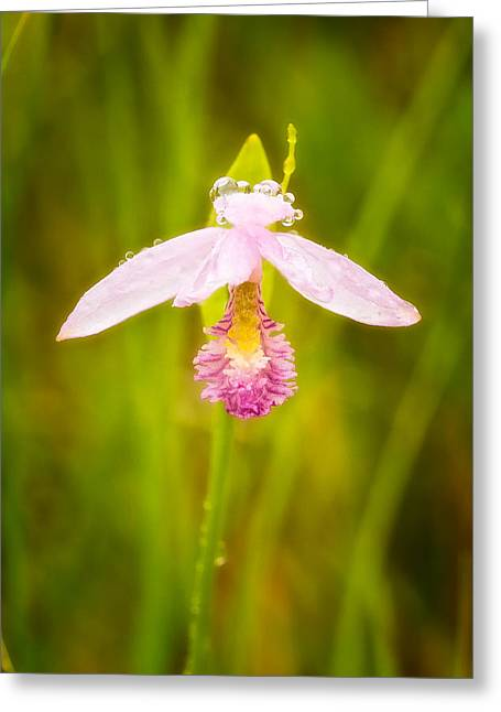 Dew Drops On Rose Pagonia Greeting Card by Jeff Sinon