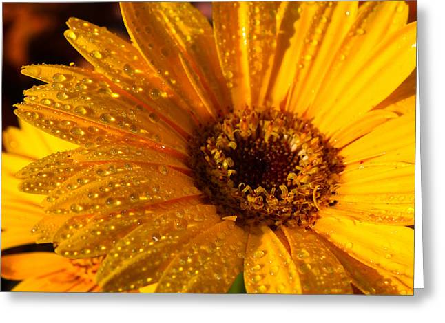 Greeting Card featuring the photograph Dew On A Daisy by Richard Stephen
