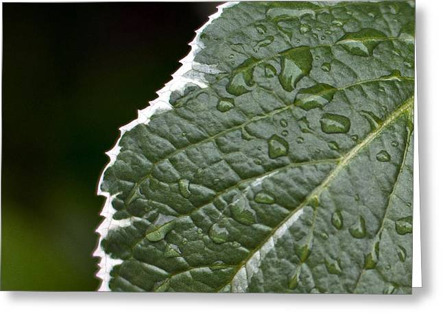Dew On Leaf Greeting Card