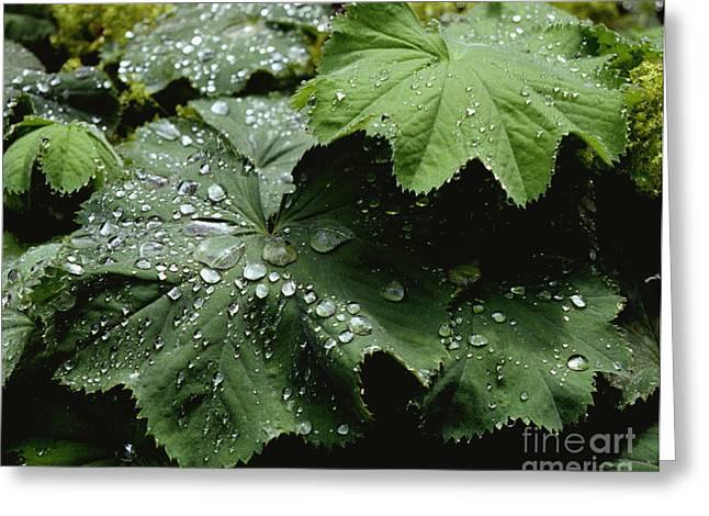 Dew On Leaves 2 Greeting Card
