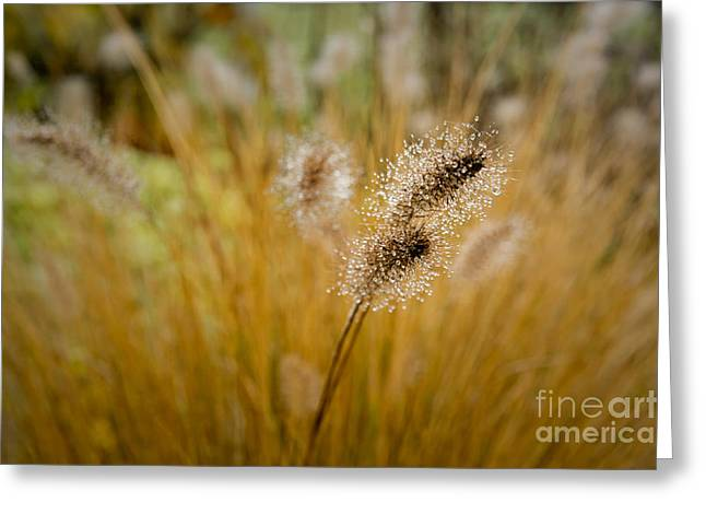 Greeting Card featuring the photograph Dew On Ornamental Grass No. 4 by Belinda Greb